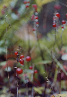 forest berries photographs