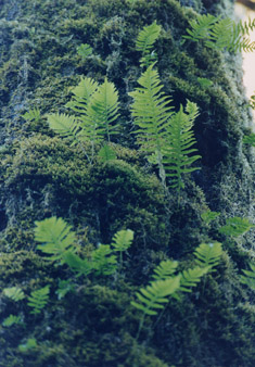 fern tree photographs