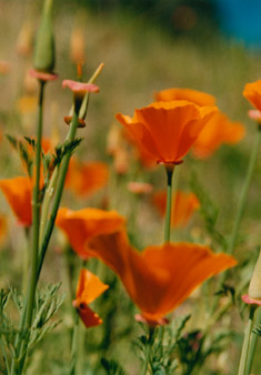 floral photographs orange poppies